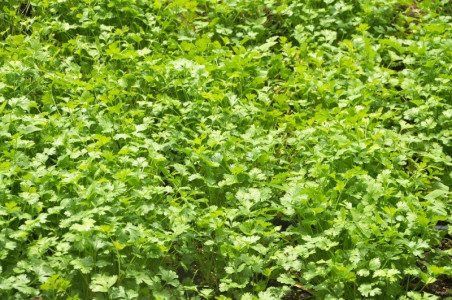 Dhania (Coriander/Parsley)