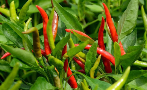 Hot Chillies
